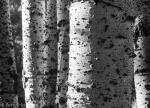 Amy Brooks Horn | Aspens