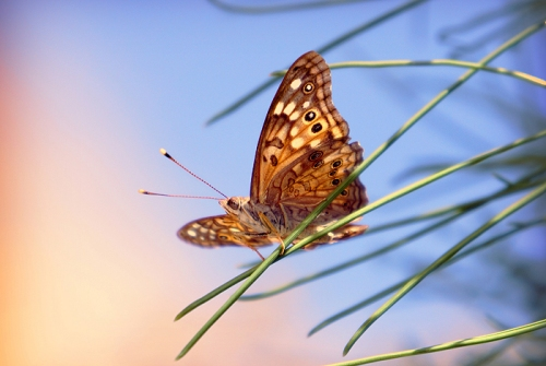 A hackberry emperor butterfly prepares to take flight in Oracle. | Seth Critchley