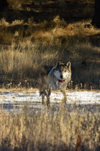 A Mexican wolf in the wild | Courtesy of U.S. Fish and Wildlife Service