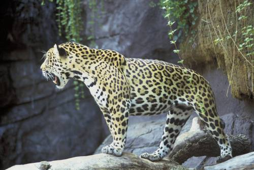 Jaguar | Courtesy of U.S. Fish and Wildlife Service