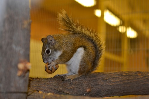 A Mount Graham red squirrel at the Phoenix Zoo | Courtesy of the Phoenix Zoo