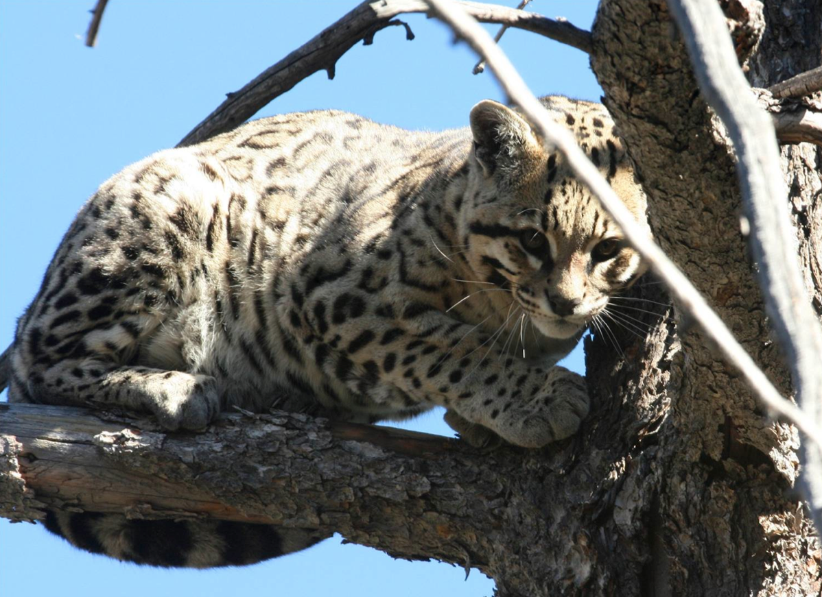 the university of arizona jaguar survey and monitoring project